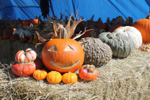 A wide variety of ghords and pumpkins are available from 5 star farms.