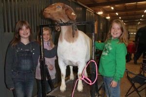 Tess Duckworth, Annsley Campbell and Aubrey Campbell work on getting Aubrey's goat ready for the Collin County Junior Livestock Show.