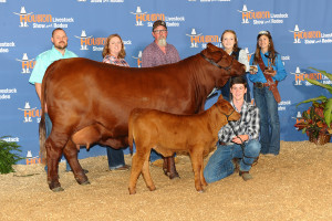 Whitney Fuller showing her Cow Calf pair.  T-Bolt Lois Lane and her Heifer Calf RWR Miss Pepper Potts (being shown by Austin Evans).  Together they took First Place in the Santa Gertrudis Winter Senior Heifer class at the Houston Livestock Show.