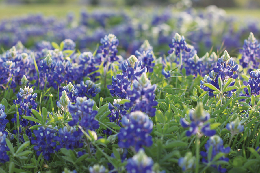 Fields of blue springing up throughout Collin County