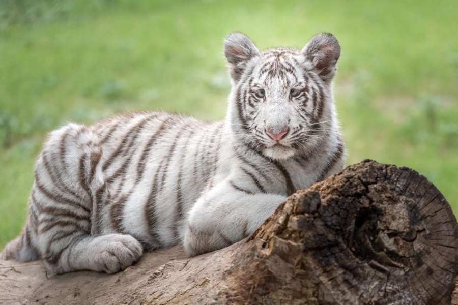 Pure vs. generic: Stanford University selects white Bengal tiger for study
