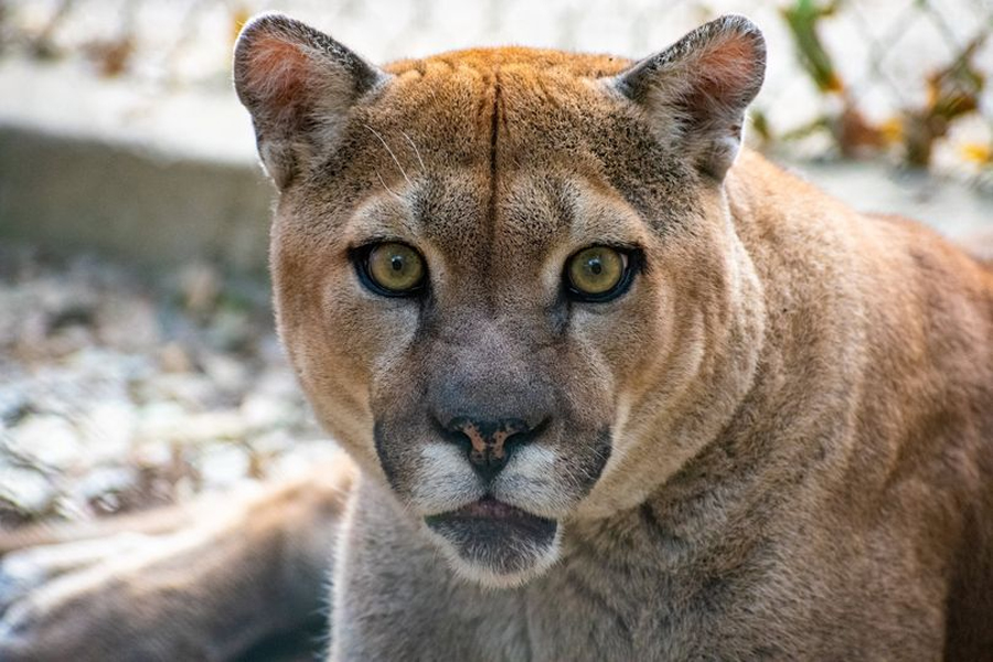 In-Sync reports cougar COVID-19 case